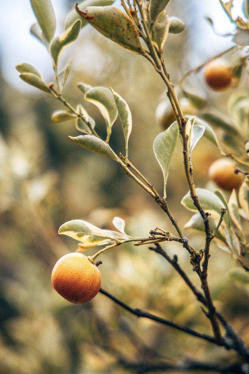 Lemons in the Hartford House Garden