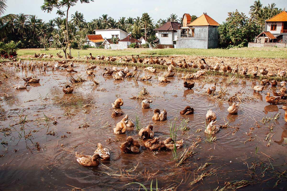 Ducks on the Sari Organik Walk