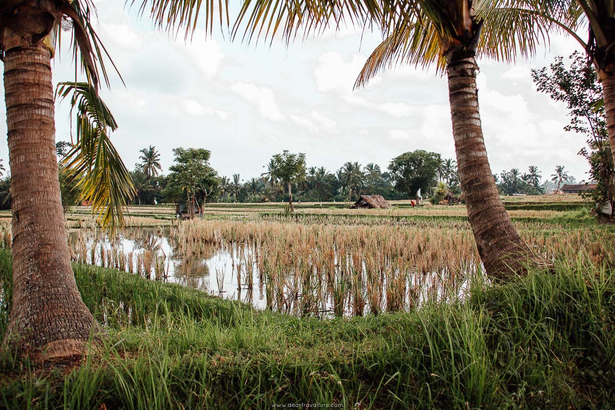 Man working in the rice paddies in Ubud