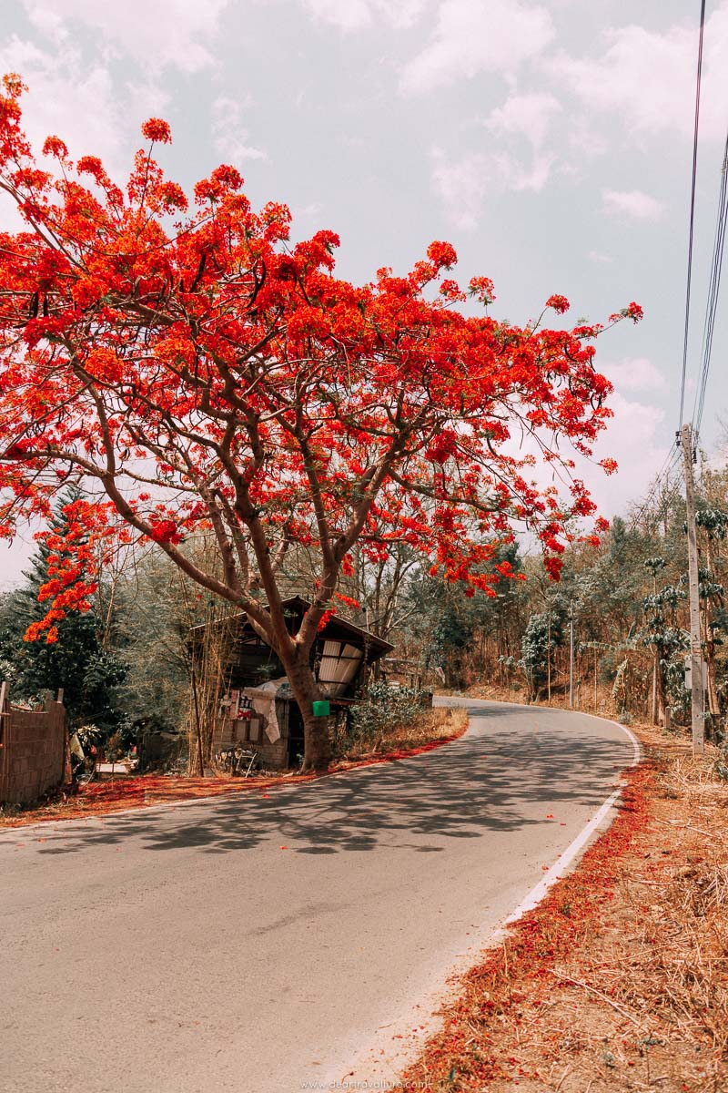 Red Tree in Pai Thailand