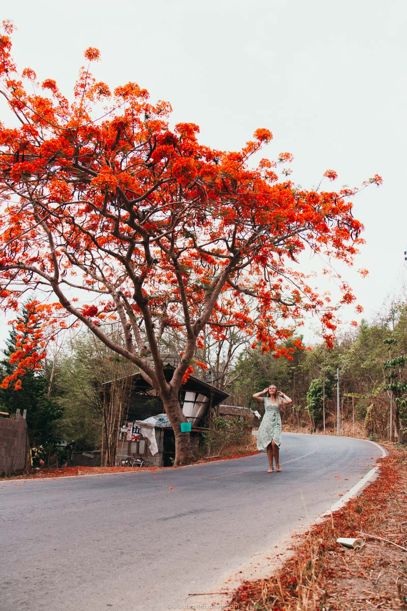 The most beautiful Red Tree in Pai Thailand