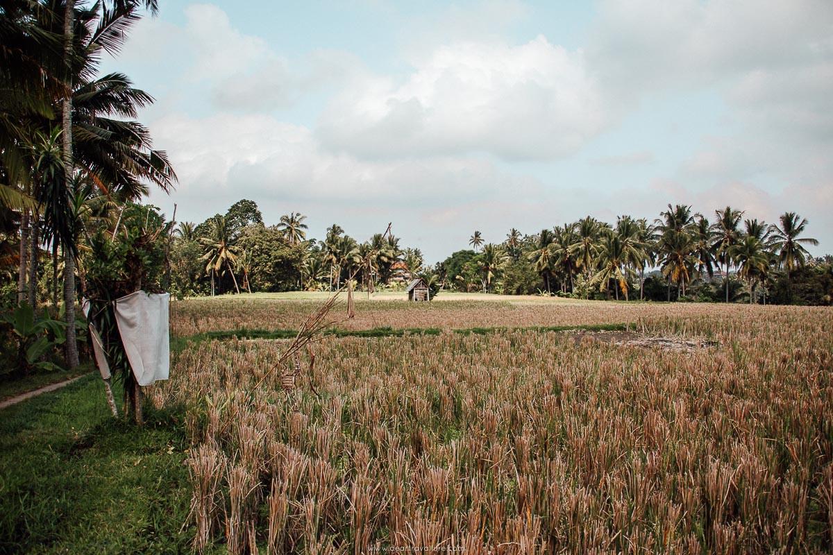 Rice Paddies at the Sari Organik Walk
