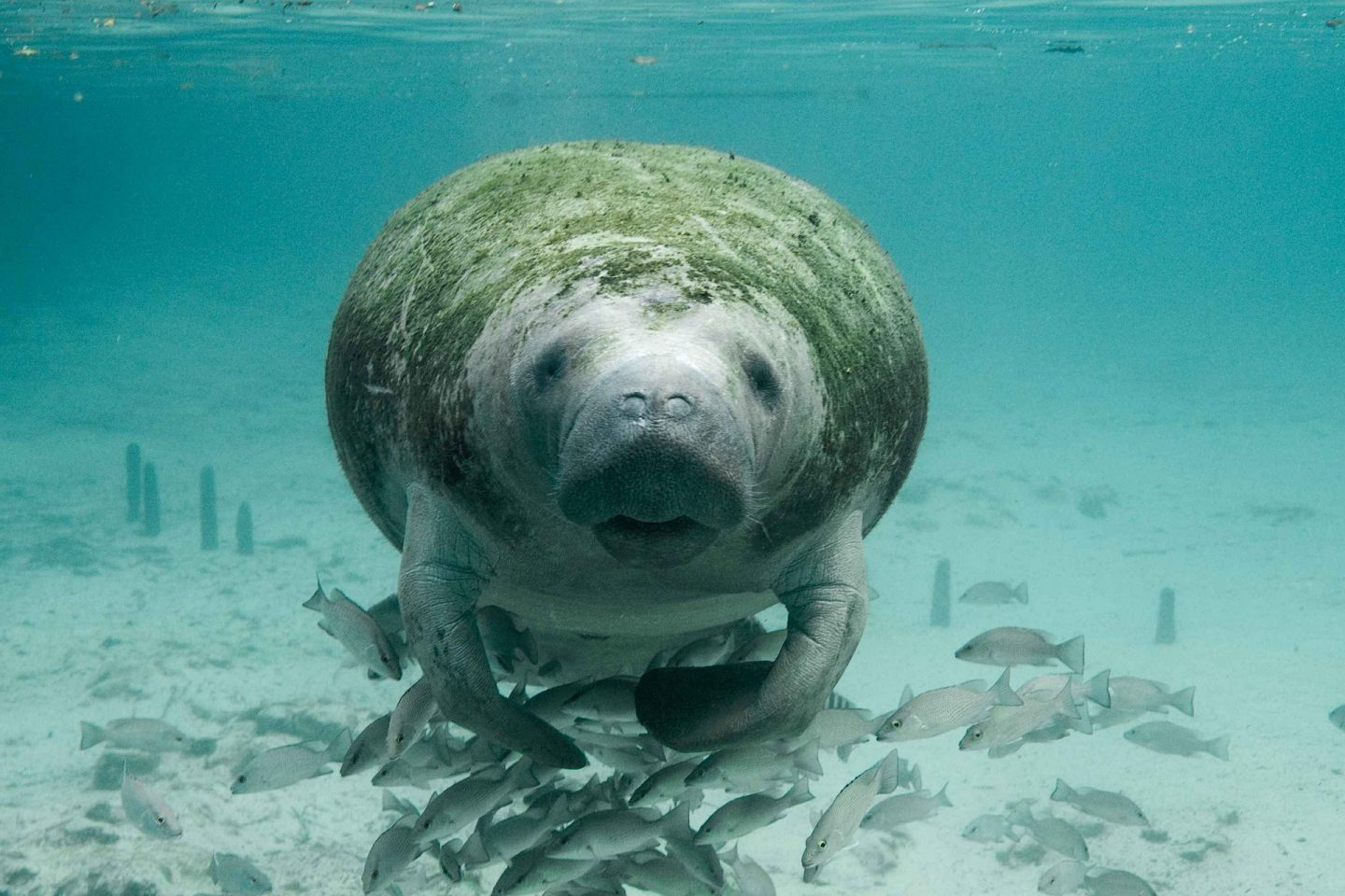 A dugong floating under the water