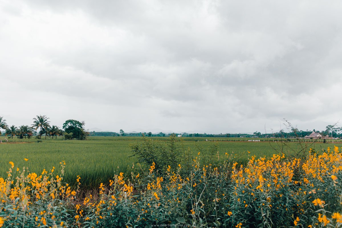 View over the rice fields and yellow flowers