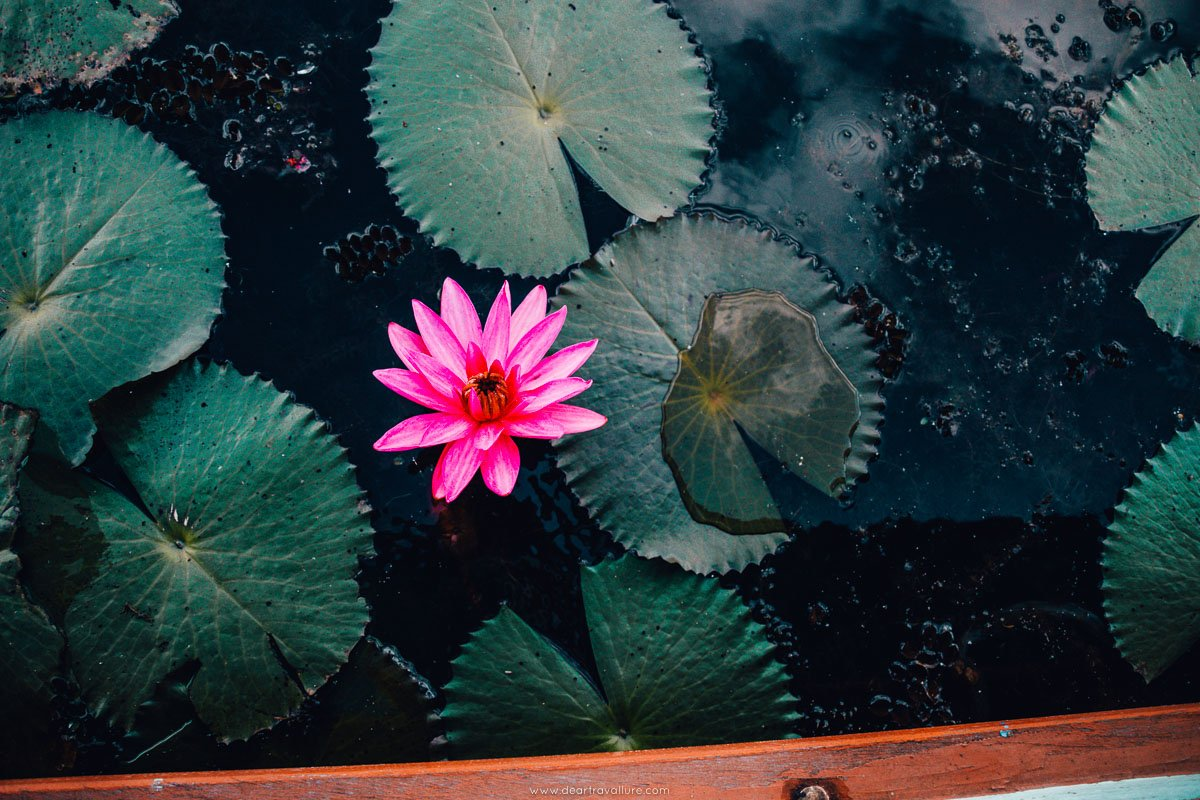 A bright pink lotus on Thale Noi