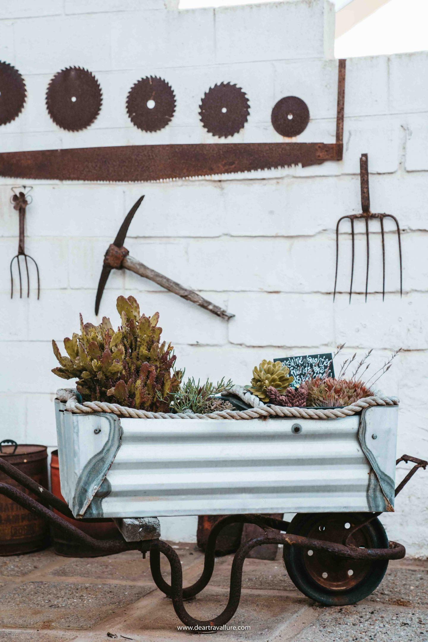 Cacti inside a steel wheelbarrow