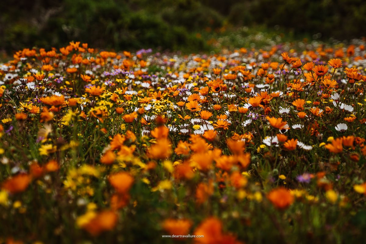 Orange, yellow and white flowers at the West Coast National Park