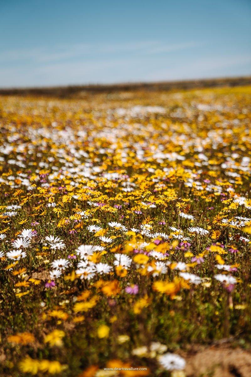 Yellow, white and purple daisies