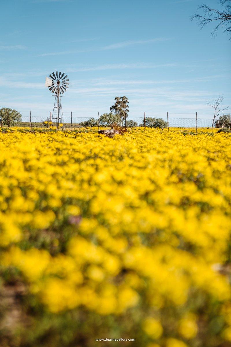 Fields of Yellow at the Hantam Botanical Gardens